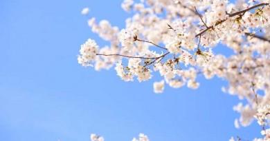 桜のシーズン到来。ラグジュアリーな空間で愛でる・・・これぞリュクスです。